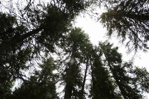В старовозрастном массиве Красноборского района 10 лет не будут рубить лес