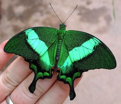 В Северодвинске открывается выставка живых тропических бабочек