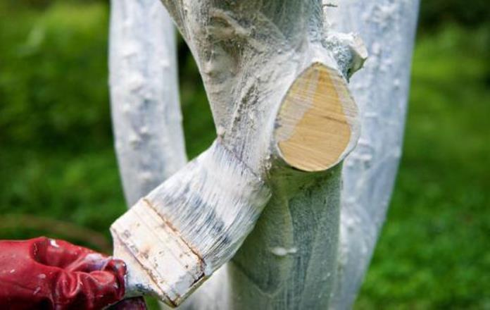Белить деревья весной нужно правильно, чтобы побелку не смыло дождем
