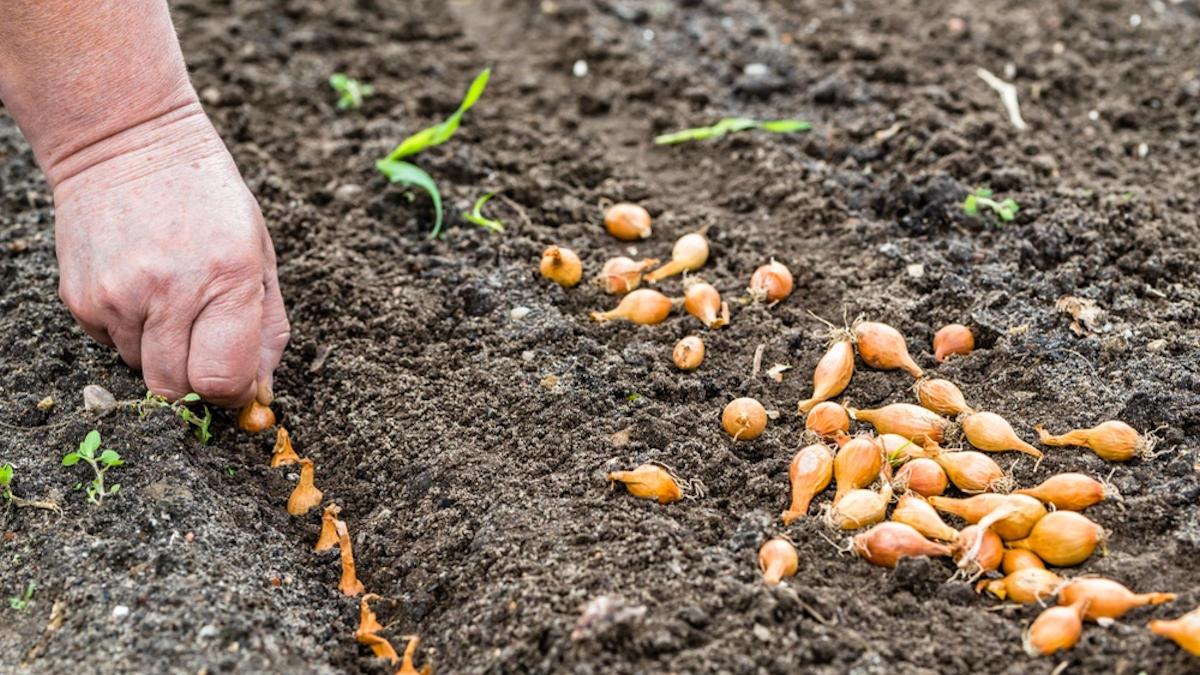 Сажаем лук репку весной 2019 года: как и когда это делать, секреты подготовки саженцев, правила и советы, посадка чернушки для получения головки за сезон