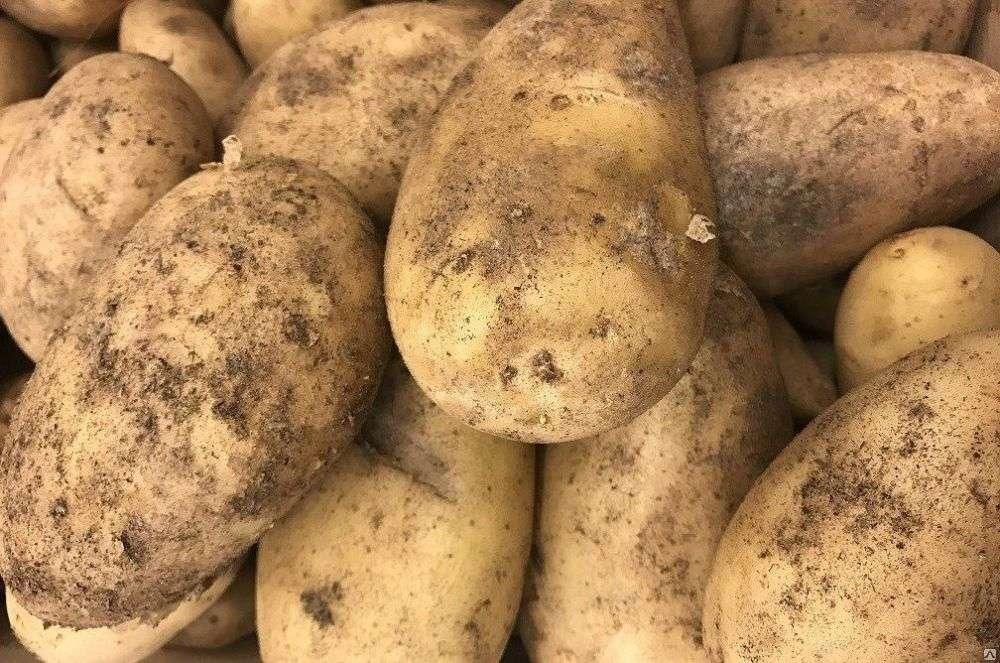 Универсальный сорт картофеля Гала: урожайность, неприхотливость и другие селекционные особенности