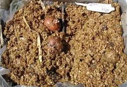 Как подготовить картофель к посадке в грунт, проверенные способы проращивания