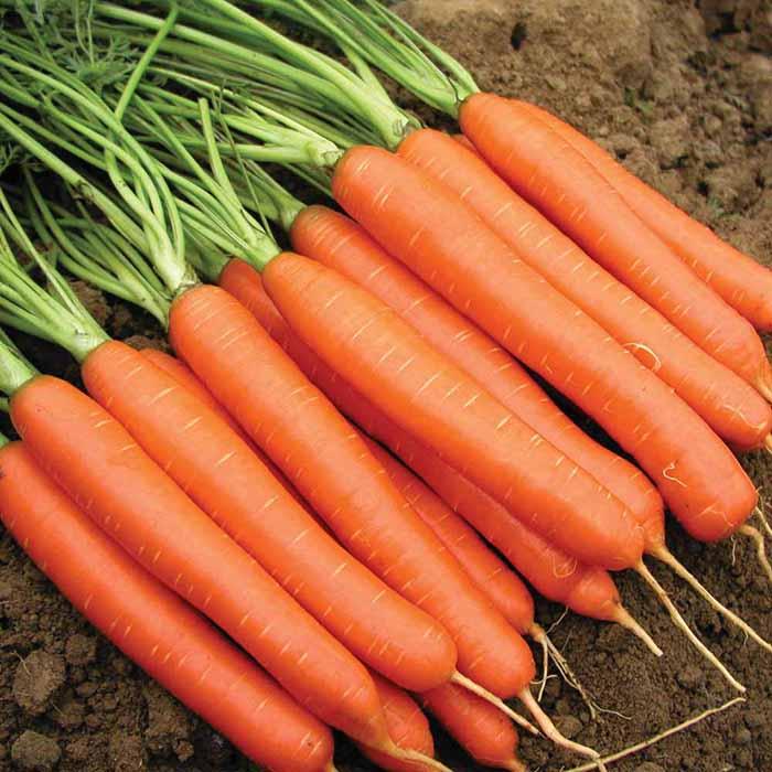 Когда сажать морковь весной в открытый грунт: предпочтительные даты