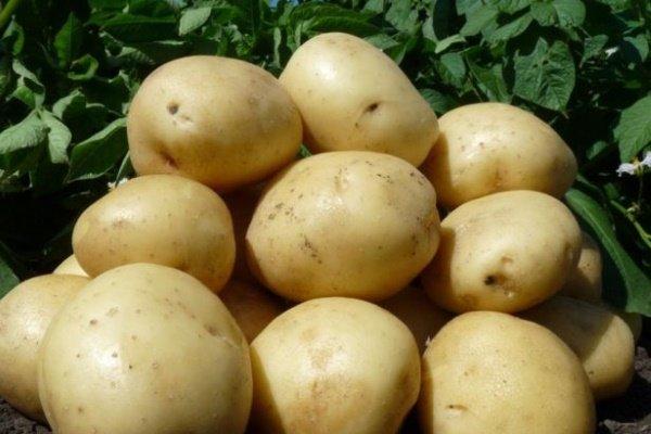 Сорт картофеля «Гала»: характеристики, полезные качества и выращивание