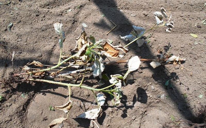 Уход за малиной весной - разбираемся в наиболее важных вопросах