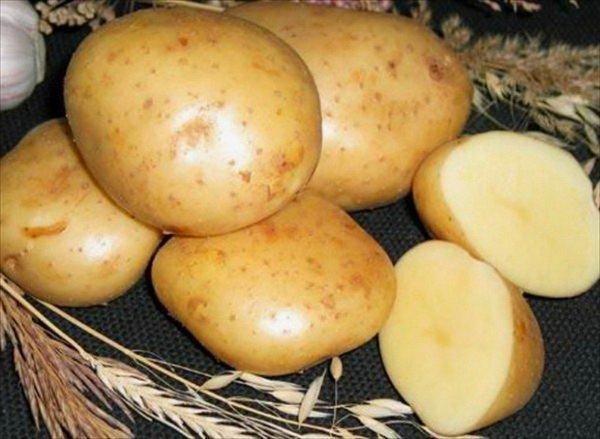 Универсальный сорт картофеля Гала: урожайность, неприхотливость и другие достоинства