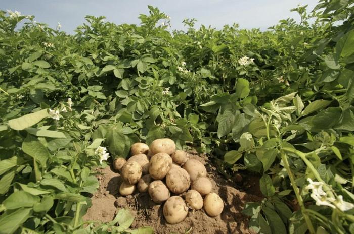 Выбираем лучшие сорта картофеля для посадки: самые востребованные виды