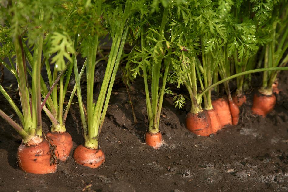 Календарь посадок моркови в конце мая 2019 семенами в открытый грунт: самые благоприятные дни и лучшие сорта, урожайный способ посева моркови весной, когда и что следует обязательно учесть при посадке семян