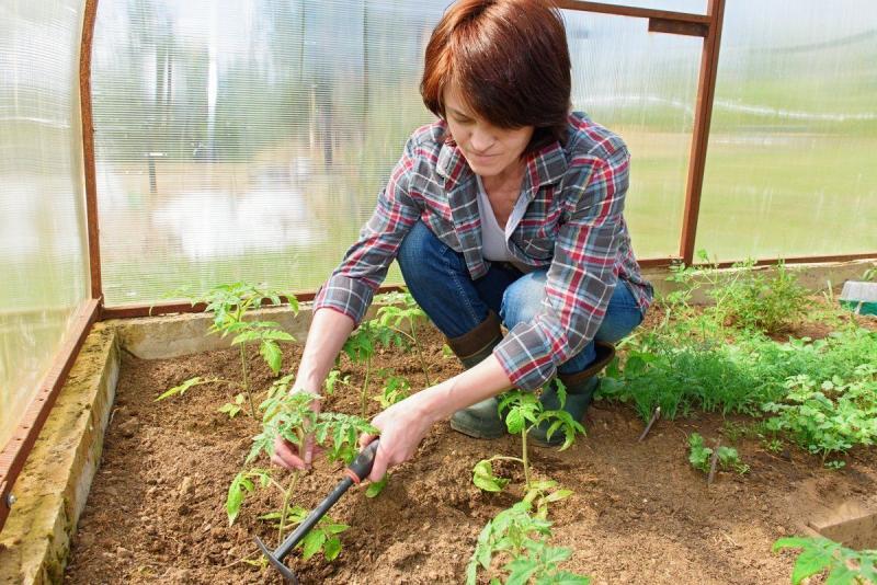 Самое время высаживать рассаду помидоров в теплицу в мае 2019: благоприятные дни, ключевые условия и правила урожайной высадки
