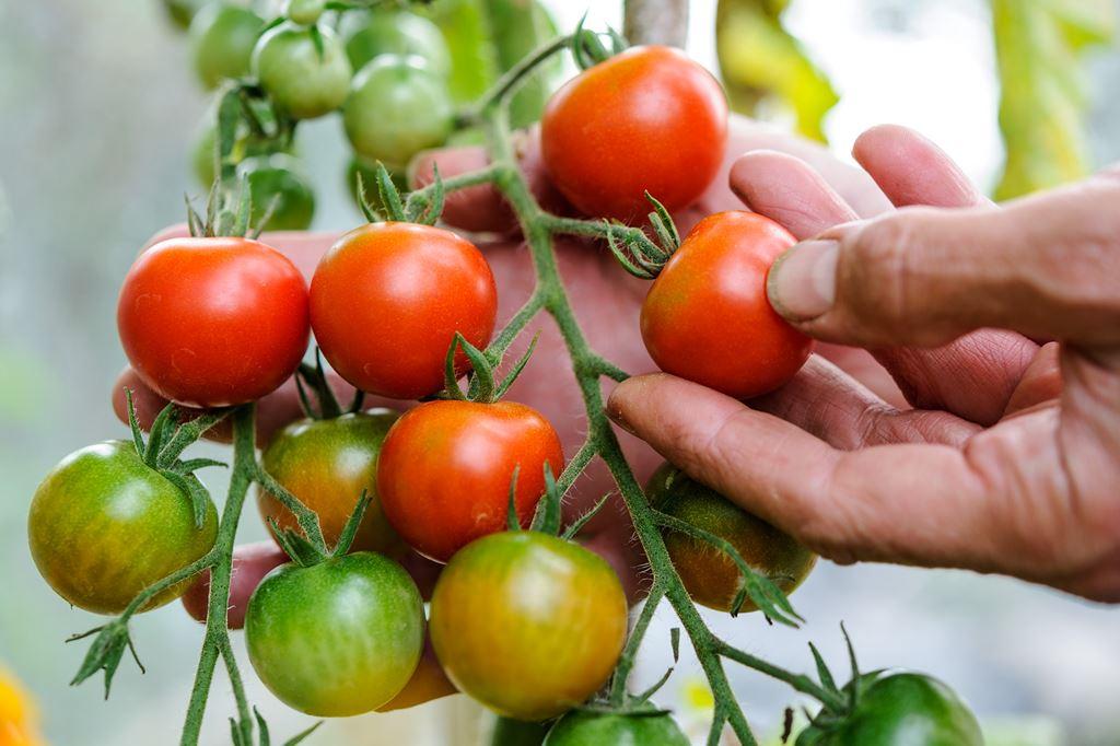 Самое лучшее время высаживать рассаду помидоров в теплицу 2019 году: все удачные дни посадки в тепличный грунт, как выглядит крепкий саженец и чем ему помочь